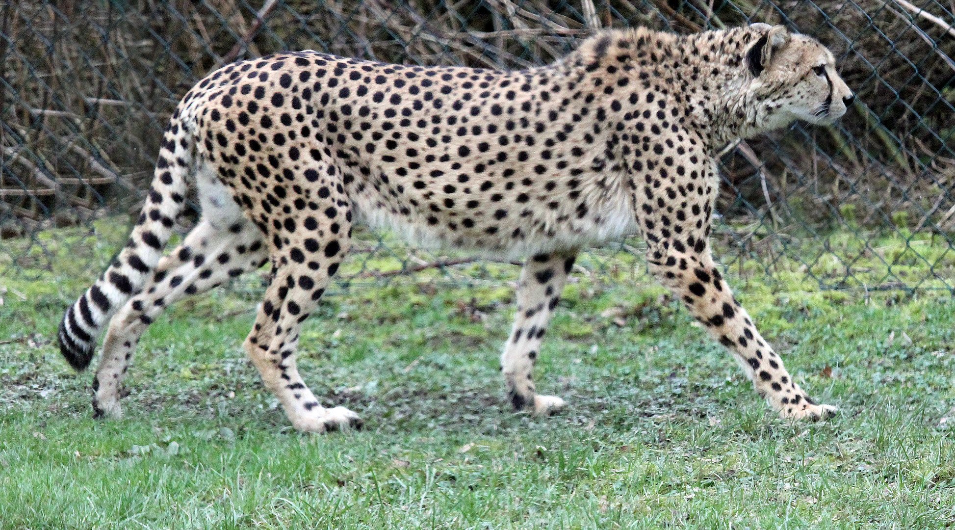 Gepard / cheetah -3-