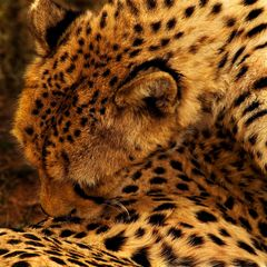 Gepard Farbe