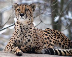 Gepard ganz stolz