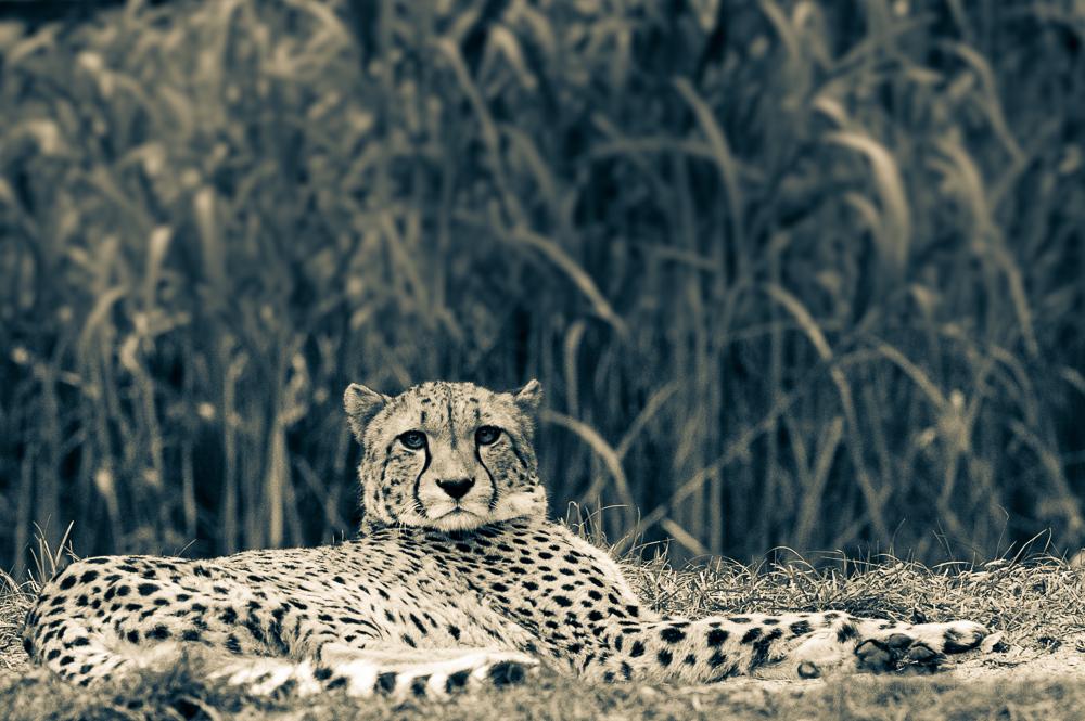 Gepard I