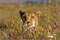 Gepard im Blumenmeer