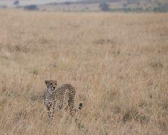 Gepard im Feld II, Kenia