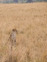 Gepard im Feld III, Kenia