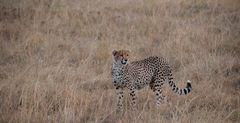 Gepard im Feld IV, Kenia