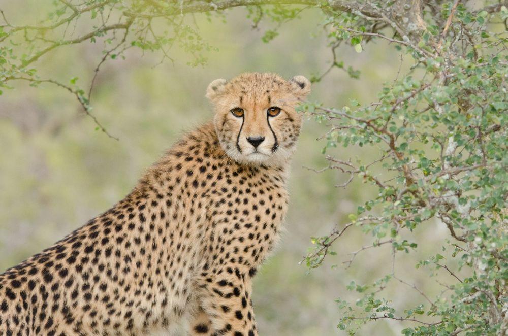 Gepard im Karongwe