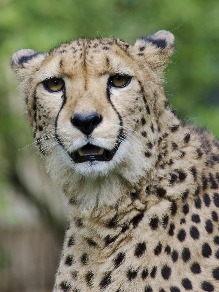 Gepard im Krefelder Zoo