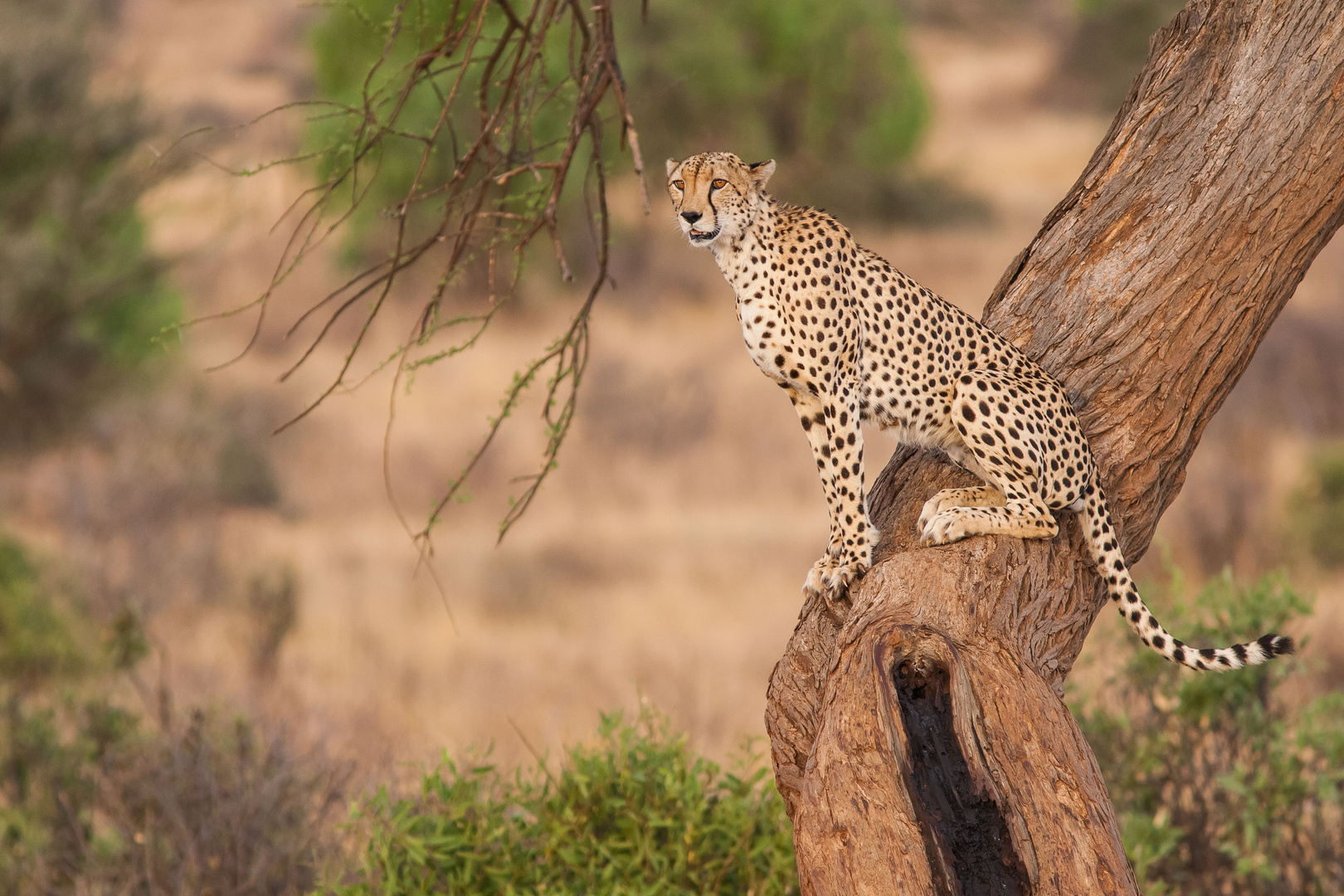 Gepard im Samburu NR, Kenia
