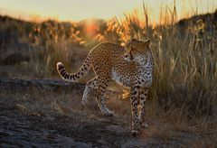 Gepard im Sonnenaufgang