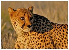 Gepard im Sonnenuntergang