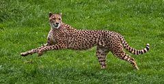 Gepard im Sprung!
