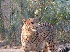Gepard im Wuppertaler Zoo