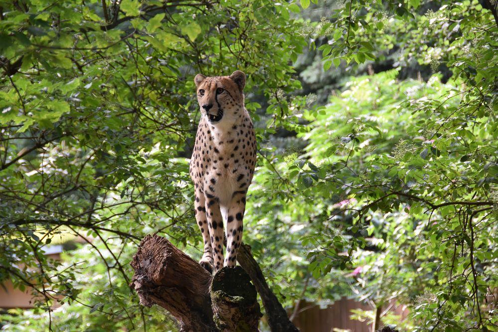 Gepard im Zoo Rostock (1)