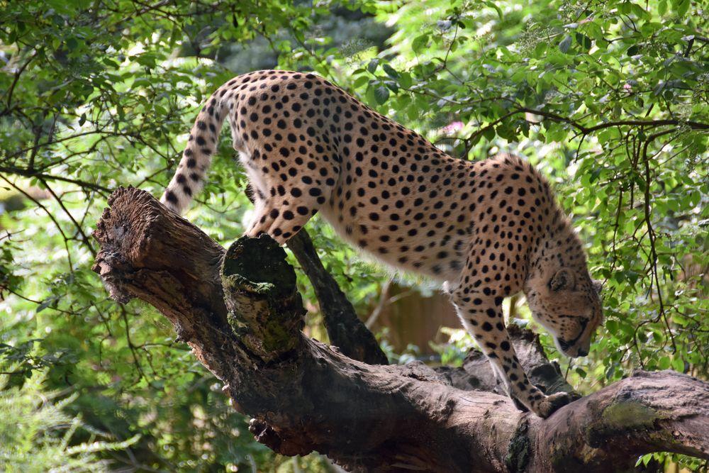 Gepard im Zoo Rostock (2)