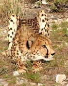 Gepard in Namibia