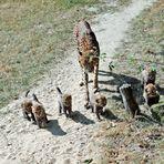 Gepard / Jungtiere -4-