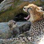 Gepard / Jungtiere -5-