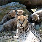 Gepard / Jungtiere -6-