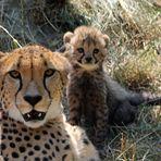 Gepard / Jungtiere -7-