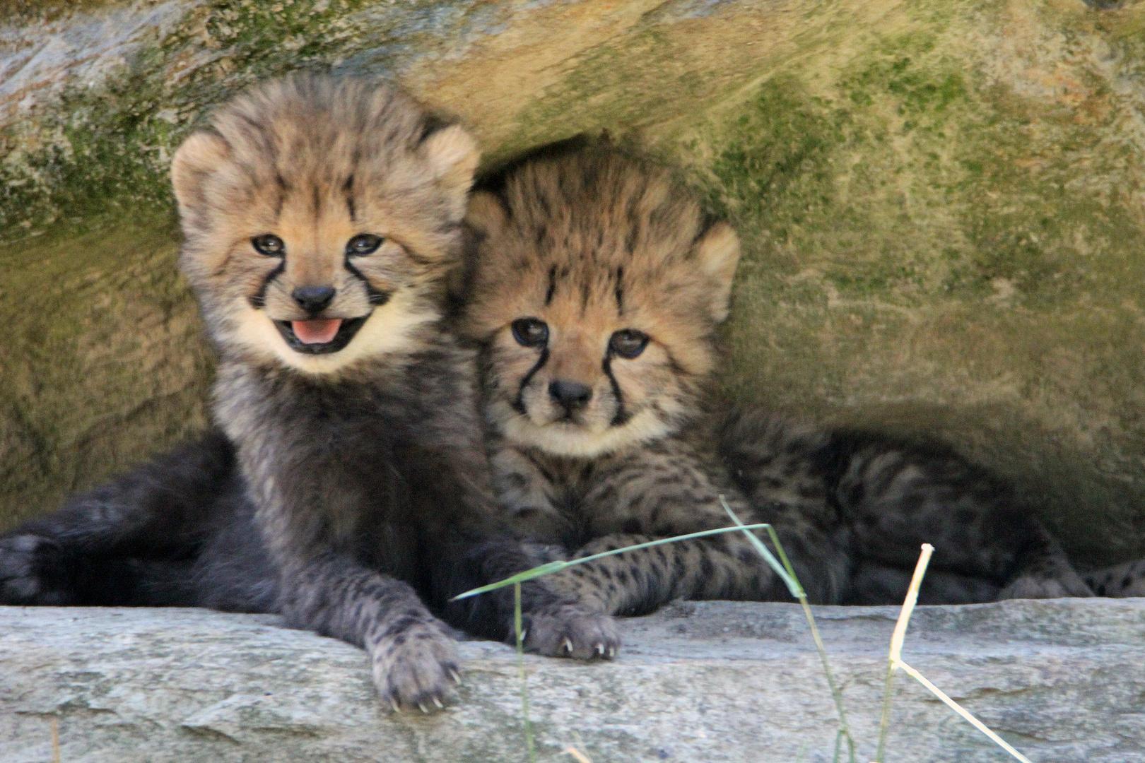 Gepard / Jungtiere -8-