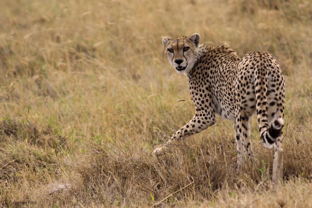 Gepard mit Augenkontakt