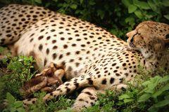 Gepard mit Säugling