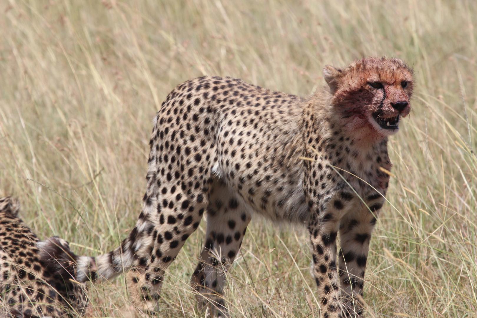Gepard nach dem Essen...