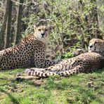 Gepard-Pärchen im Kölner Zoo bei der Mittagsruhe