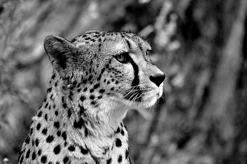 Gepard Portrait sw
