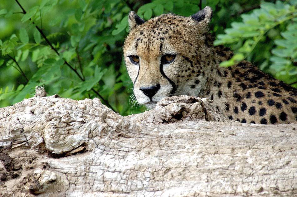 Gepard ( Portrait ) und