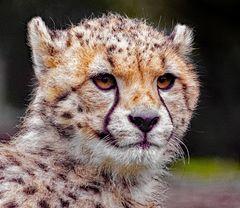 Gepard schaut interessiert auf seine Ostergäste