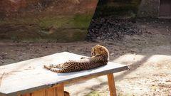 Gepard Sonnt sich