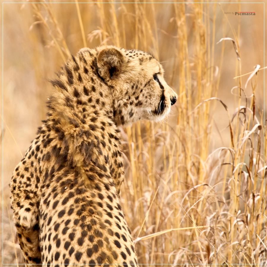 Gepard, South Africa