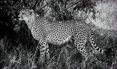 Gepard SW