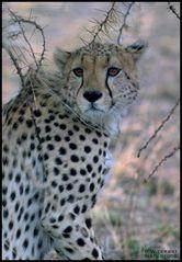 - Gepard - Tansania Serengeti