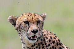 Gepard und Fliegen (Acinonyx jubatus) und (Brachycera)