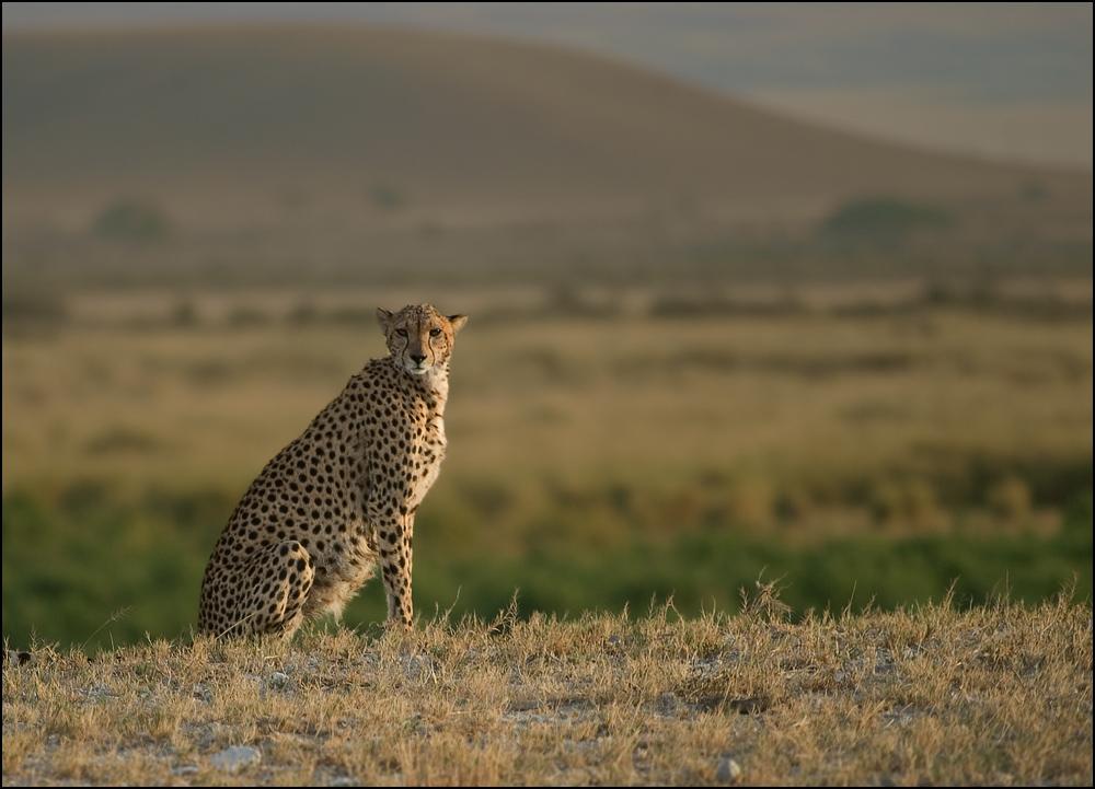 Gepard vor dem Kilimanjaro