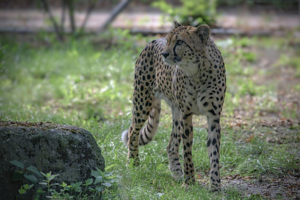 Gepard   - Zoo Dresden