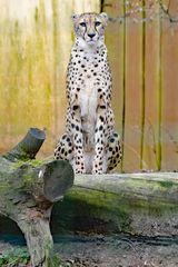 Gepard_3