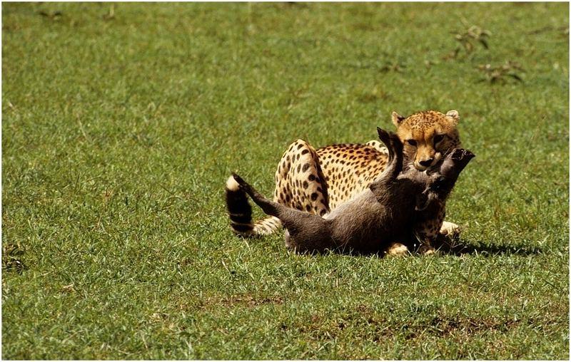 Geparde bei der Jagd 4
