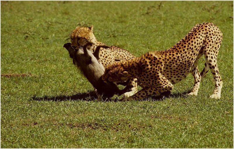 Geparde bei der Jagd 5