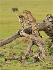 Geparden auf Baum