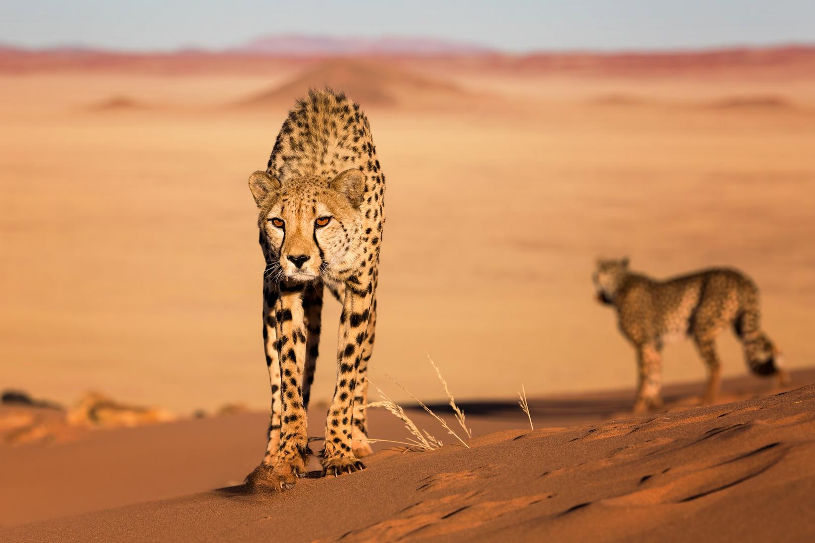 Geparden auf der Düne