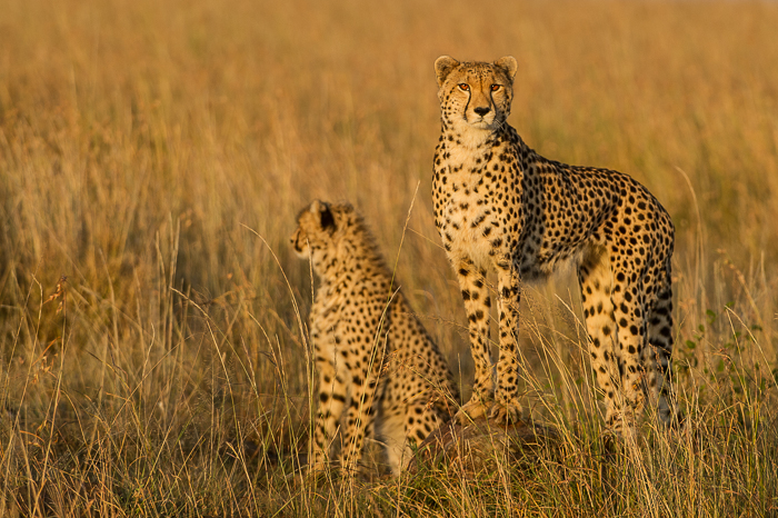 Geparden auf Futtersuche
