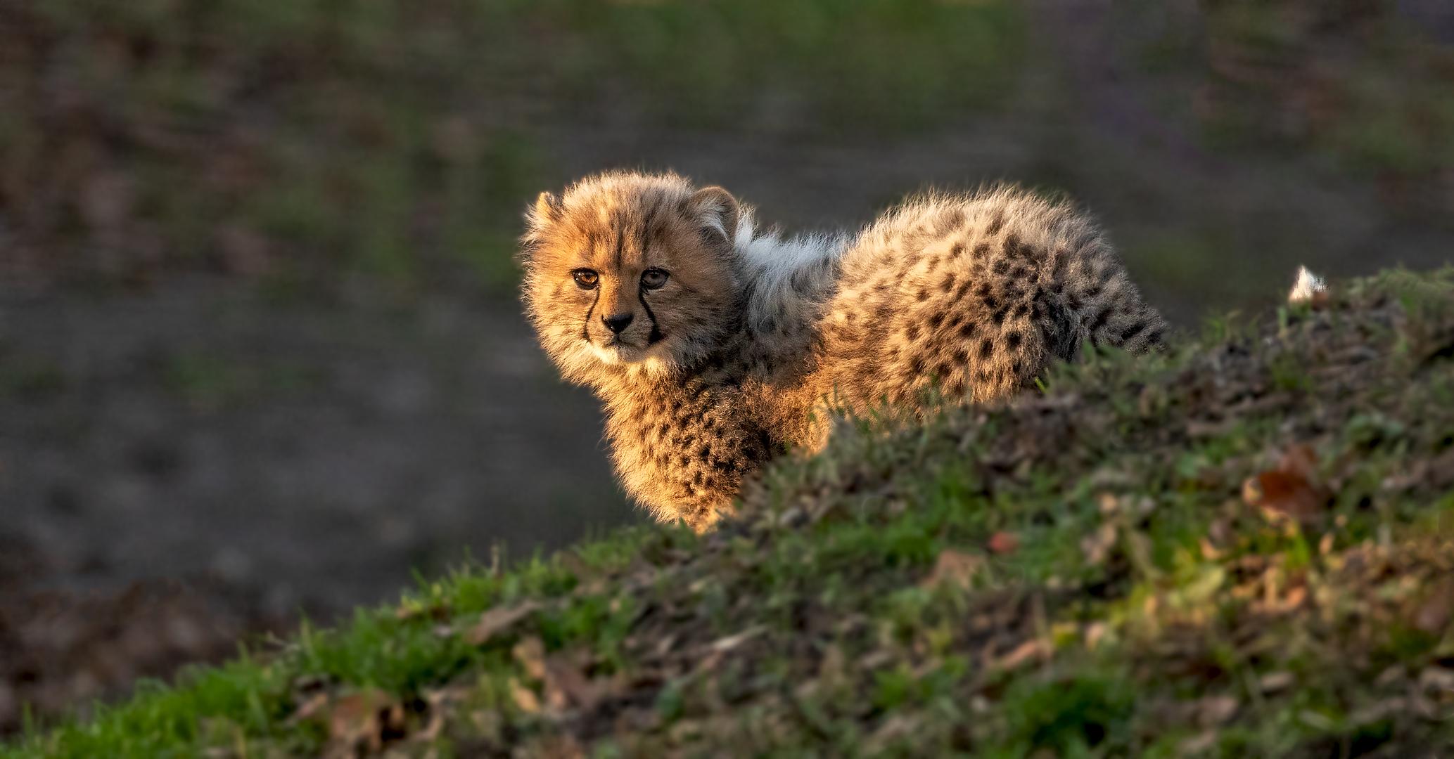 Geparden Baby in der Abendsonne 001