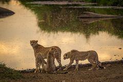 Geparden Family