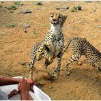 Geparden-Fütterung
