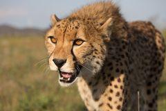 Geparden hautnah...