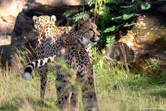 Geparden im Morgenlicht