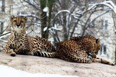 Geparden im Schnee