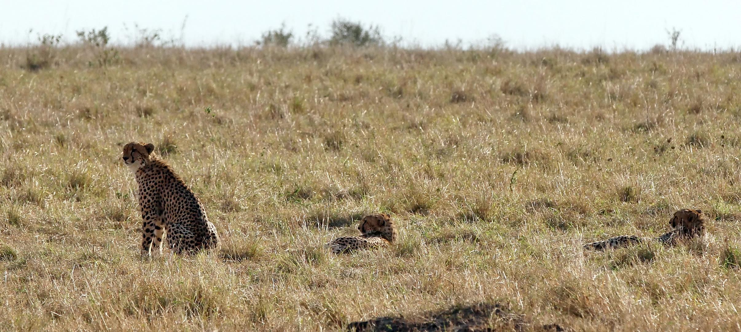 ......Geparden in 4 Bildern....
